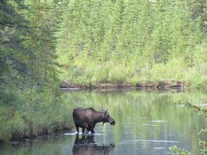 Moose near Denali National Park