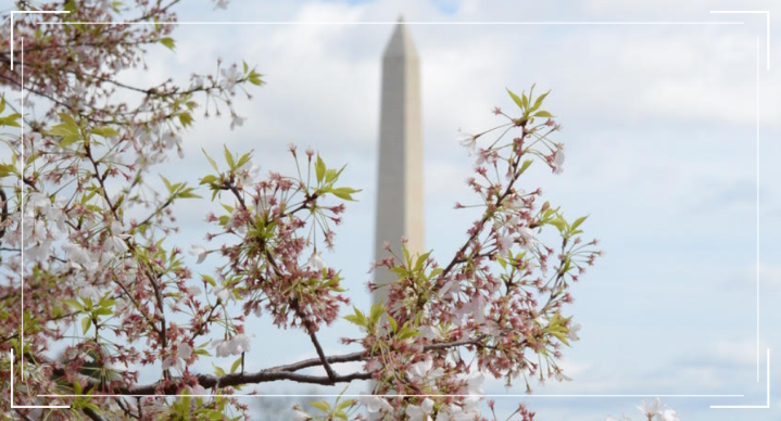 Tips for Seeing the Cherry Blossoms in Washington D.C.